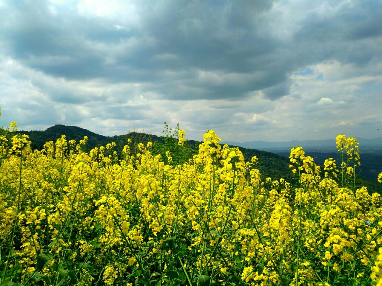 三月的乡村是黄色的。村舍的房前屋后一两株火红的桃花,雪白的梨花,粉色的杏花,如银如霜的李花、樱花,也只是星星点点,撒落在翠绿丛里,淹没在苍翠墨绿丛影中。而这菜花仿佛是一个粗糙的粉刷匠,或横或竖或撇或捺在山粱上或沟壑里划出或明或暗的黄色笔画。又像一个古典的田园画家,不用工笔细描,直接泼墨随心写意,平坦而一望无际的黄色。和风阵阵,花潮涌动,黄色的花瓣在阳光下或阴或阳,色泽明暗如波浪翻动。